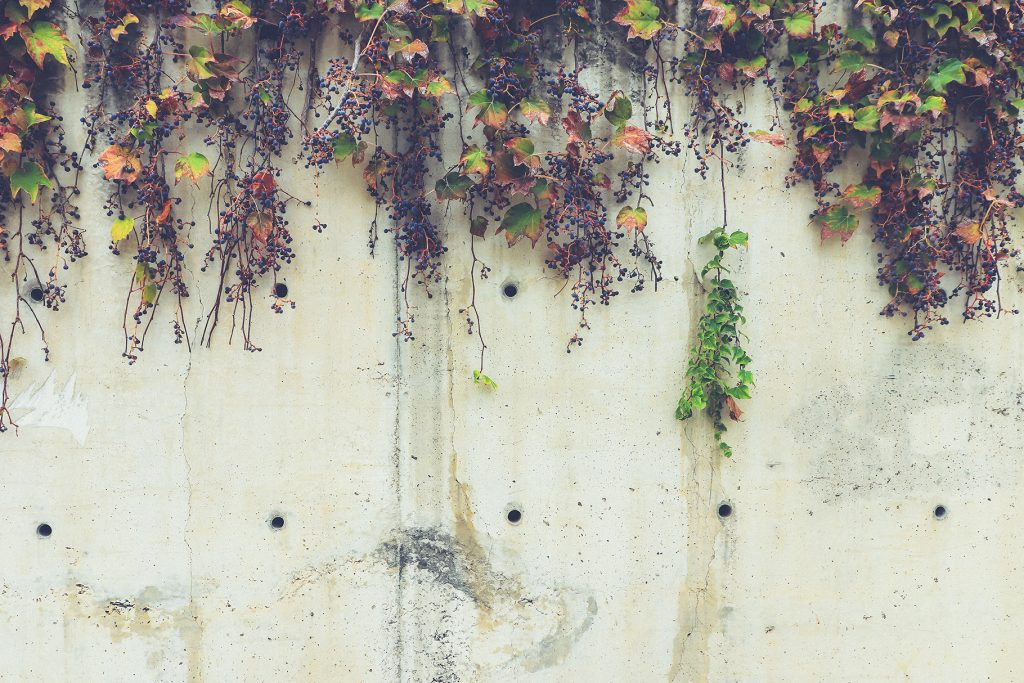 White concrete wall texture with overhanging dry grape plant.